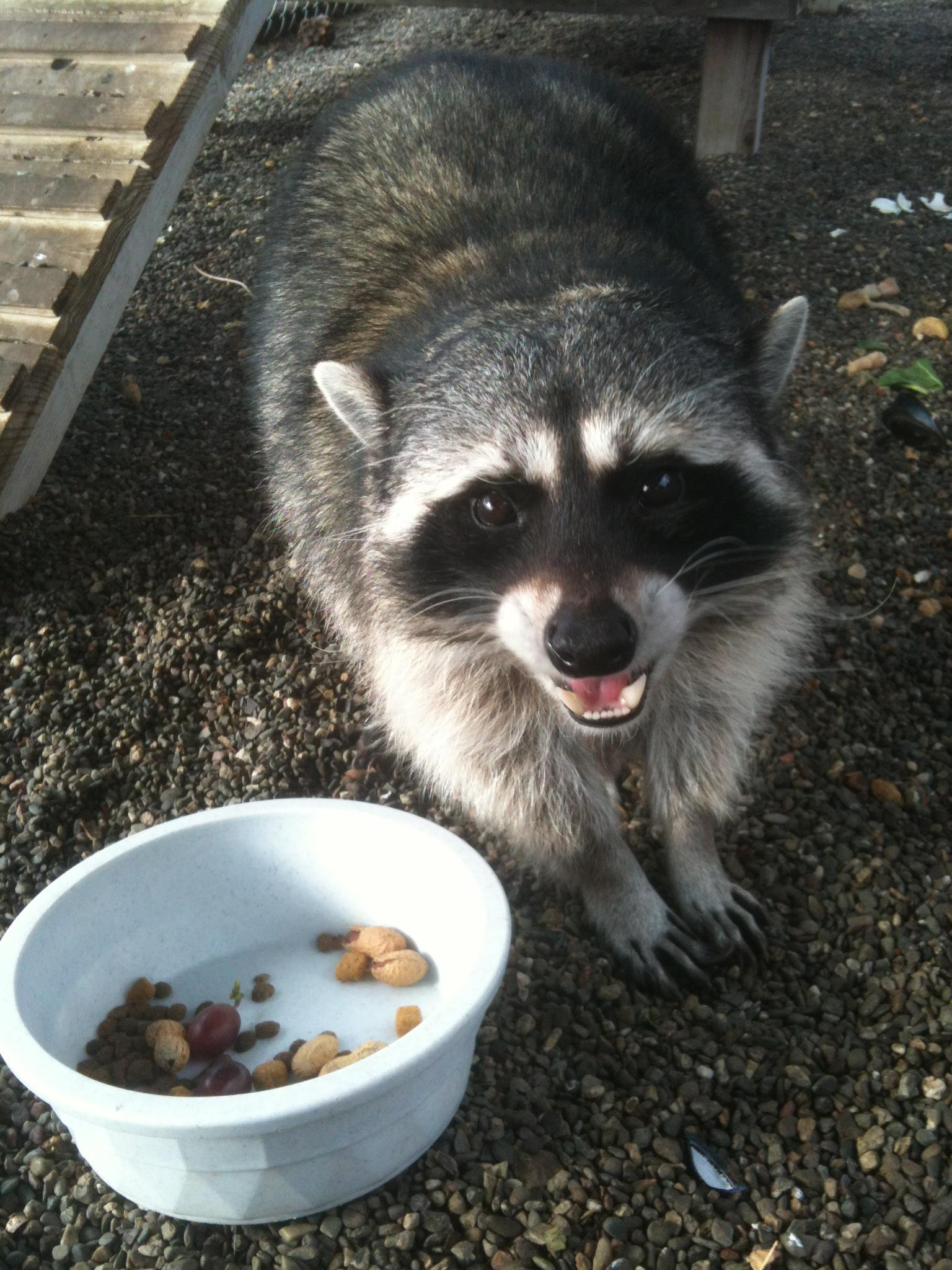 Suisun Wildlife Center Bandit