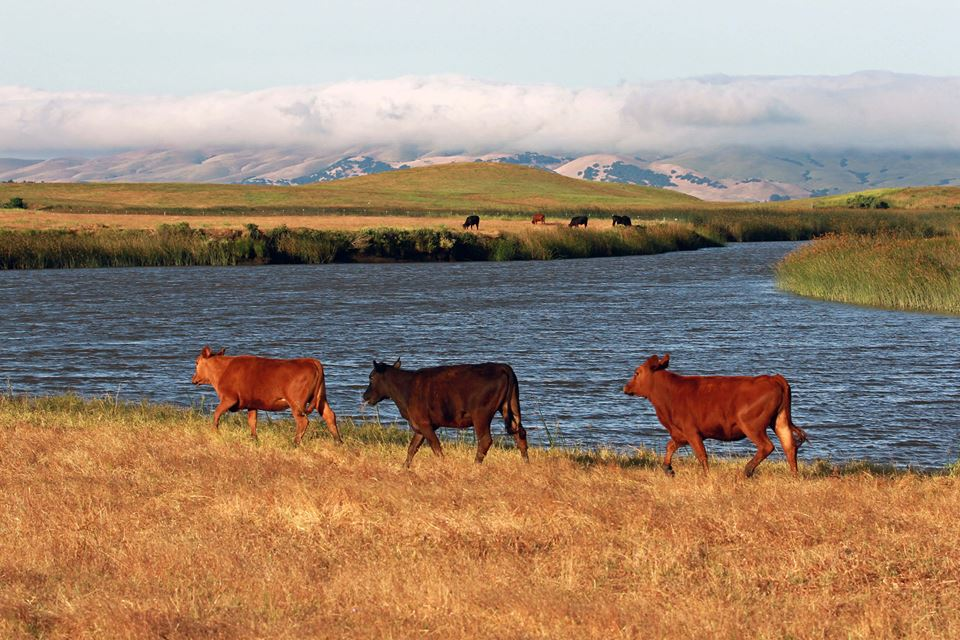 Cows at Rush Ranch. Photo by Tom Muehleisen