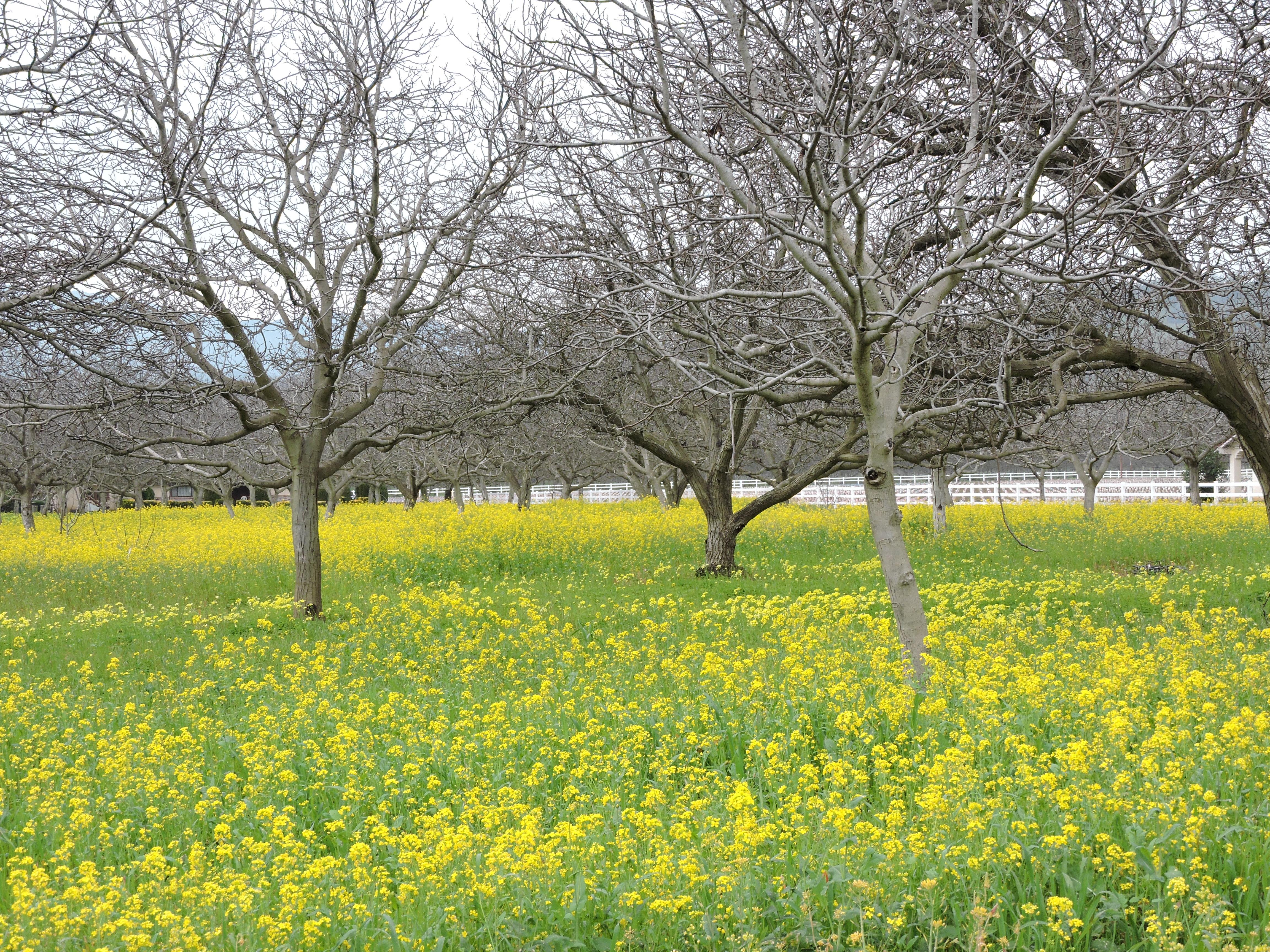 Mustard creates a sea of yellow flowers in suisun valley visit dscn0362 mightylinksfo