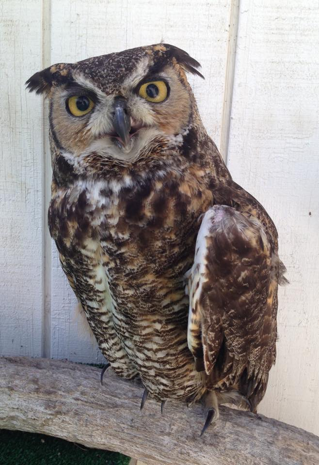 Griffin, the great horned owl