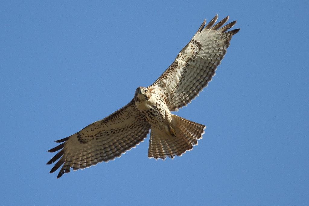 Red tailed hawk by Paul Schwafel