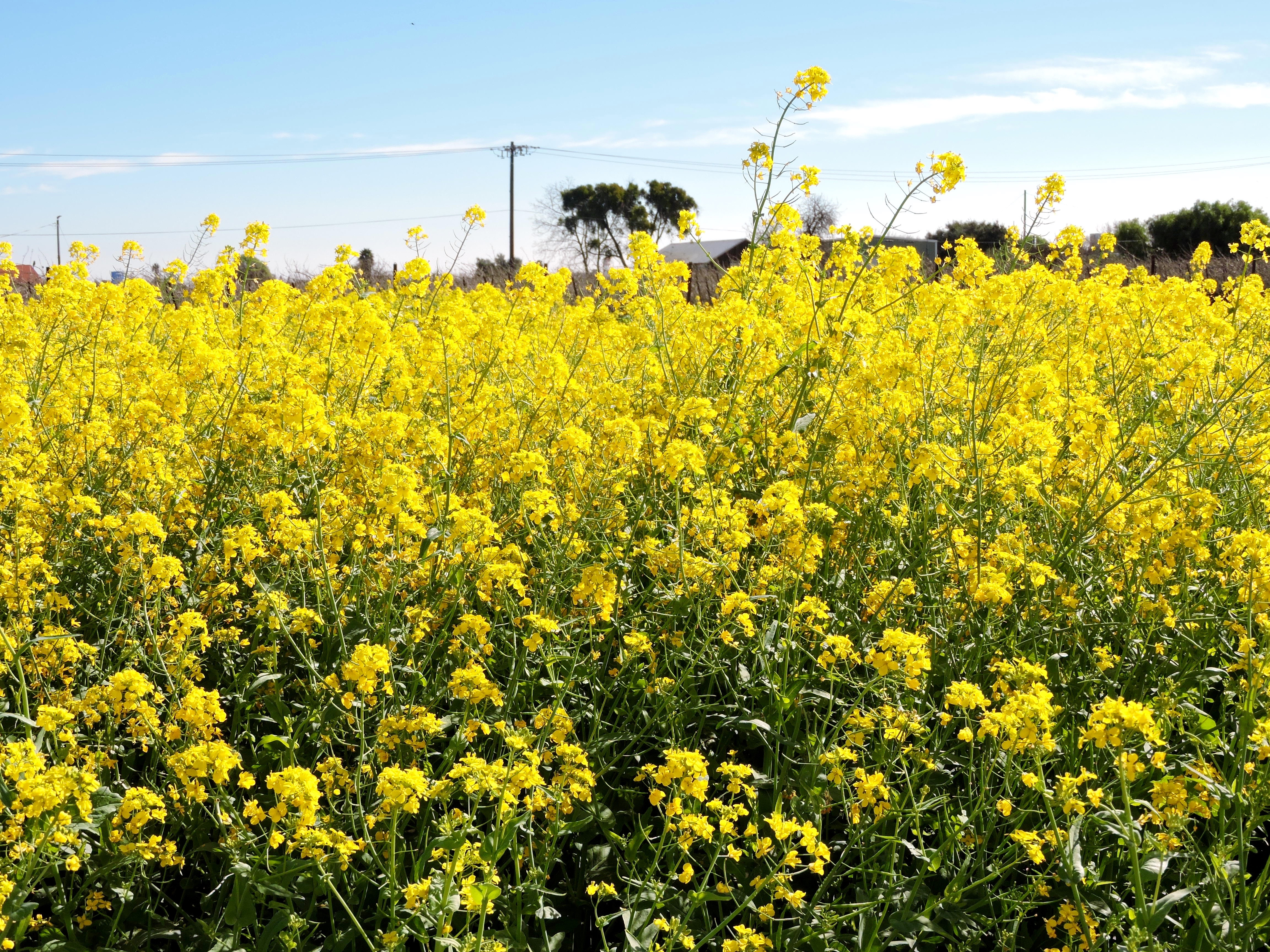 Suisun valleys mustard creates beautiful winter blanket visit vines may be quiet and still in the winter months but the mustard is in full bloom creating a vibrant and mesmerizing sea of yellow flowers throughout mightylinksfo
