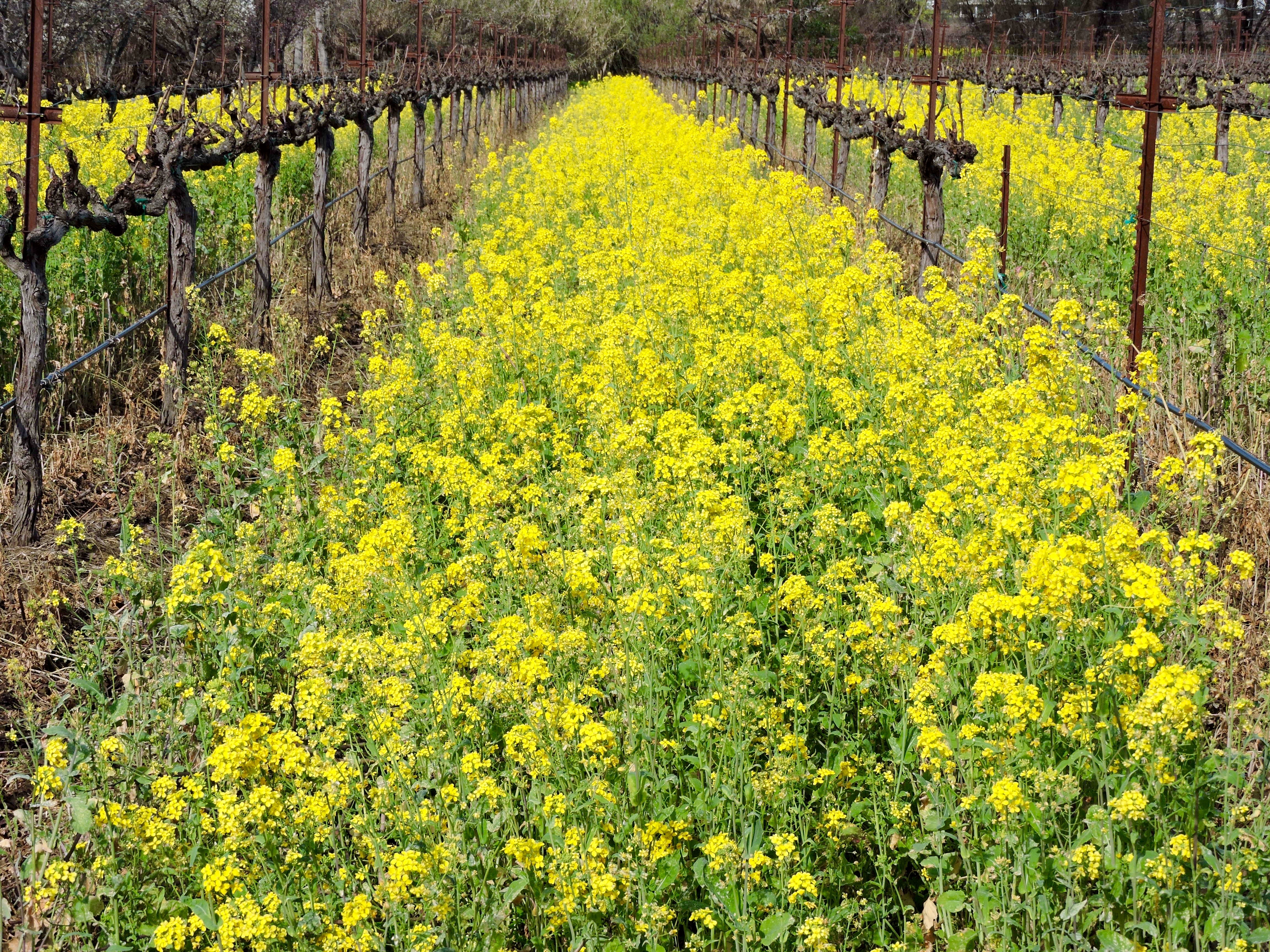 check out our photos of the mustard plant in suisun valley explore the region today and share your own pictures with us you can find us on instagram