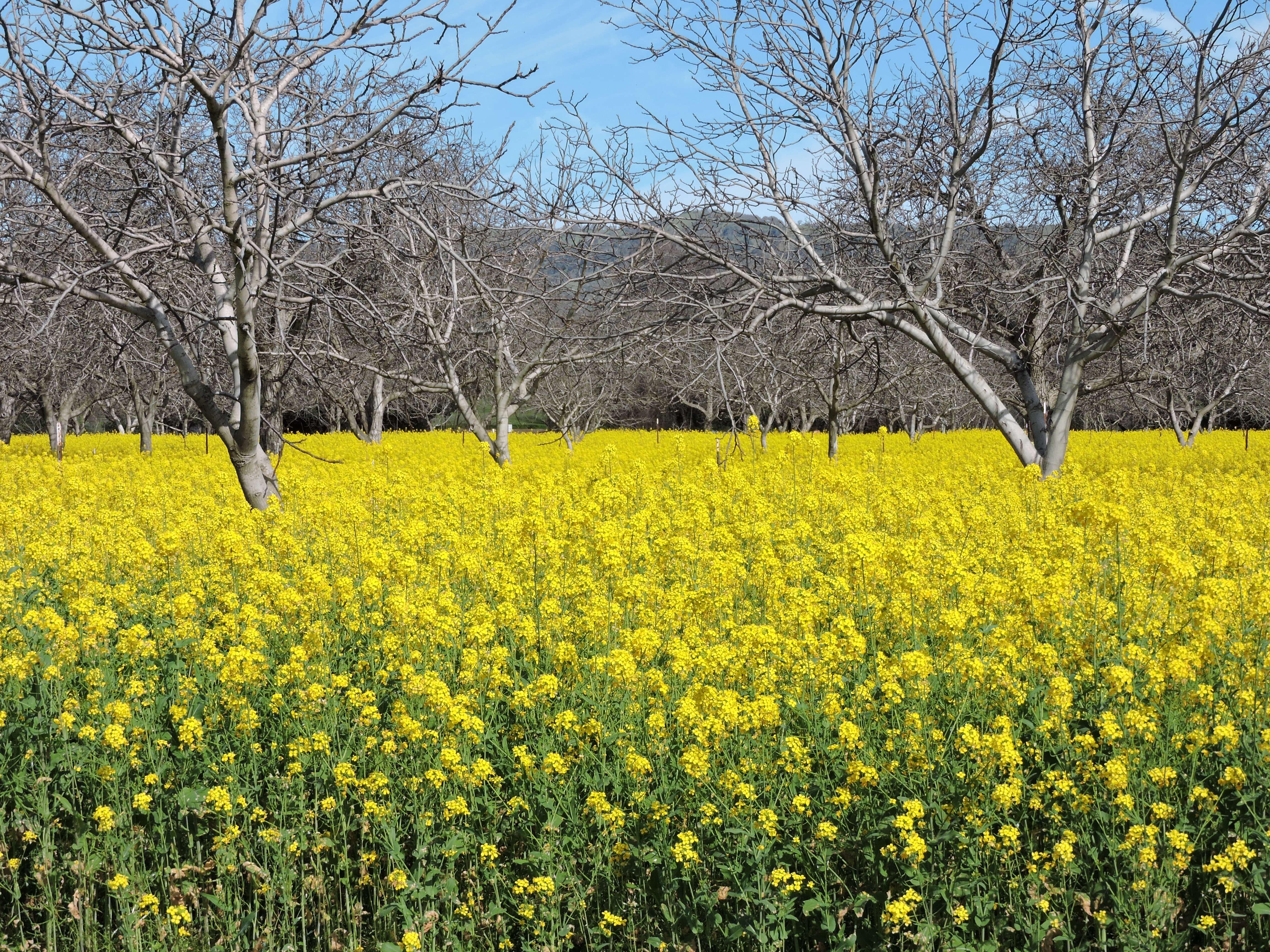 Suisun Valley's mustard creates beautiful winter blanket - Visit